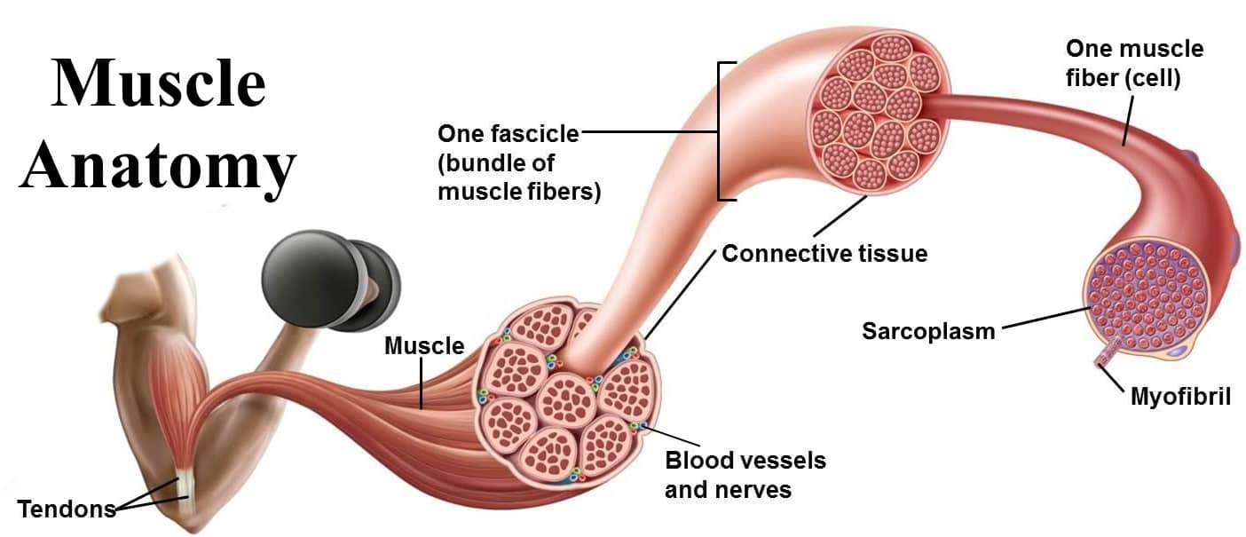 Fibre For Muscle Building